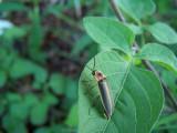 curious lightning bug