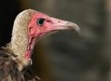 Kapgier - Necrosyrtes monachus - Hooded Vulture