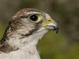 Sakervalk - Falco cherrug - Saker Falcon
