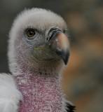 Ruppelsgier - Gyps rueppelli - Ruppell's Vulture