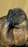 Andescondor - Vultur gryphus - Andean Condor