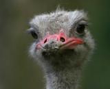 Struisvogel - Struthio camelus - Ostrich