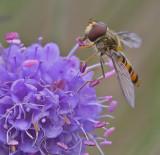 Pyama Zweefvlieg - Episyrphus Balteatus - Marmelade Fly