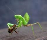 Bidsprinkhaan met prooi - Praying Mantis with prey