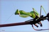 Bidsprinkhaan - Praying Mantis