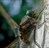 Gewone Oeverlibel - Orthetrum Cancellatum - Black-tailed Skimmer