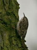 Boomkruiper - Short-toed Tree Creeper