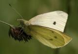 Groot Koolwitje - Pieris brassicae - Large White