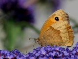 Bruin Zandoogje - Maniola jurtina - Meadow Brown