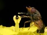 Snuitvlieg - Rhingia campestris - Hoverfly