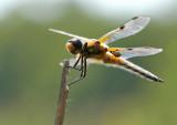 Viervlek - Libellula quadrimaculata - Four Spotted Chaser