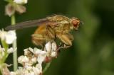 Strontvlieg - Scatophaga stercoaria - Yellow Dungfly