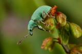 Groene Bladsnuitkever - Phyllobius virideaerus -  Green Immigrant Leaf Weevil