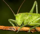 Grote groene sabelsprinkhaan - Tettigonia viridissima - Great Green Bush Cricket