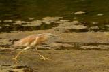 Ralreiger    -    Squacco Heron