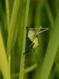 Struik Sprinkhaan - Leptophyes punctatissima - Speckled Bushcricket