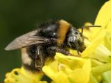 Hommel - Bombus terrestris - Buff-tailed Bumblebee