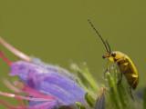 Gele bloemenkever - Cteniopus flavus