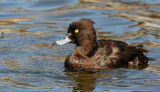 Kuifeend    -    Tufted Duck