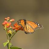 Monarch vlinder - Danaus plexippus - Monarch butterfly