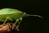 Groene stinkwants - Palomena prasina - Green Shield Beetle