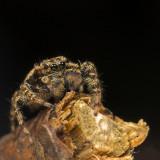 Zebraspin - Salticus scenicus - Zebra Spider