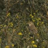 Kleine Spotvogel - Booted Warbler