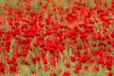 Klaproos - Papaver rhoeas - Poppy