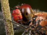 Bloedrode Heidelibel - Sympetrum sanguineum - Ruddy Darter