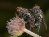 Parende vliegen - Mating flies