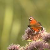 Dagpauwoog - Inachis io - Peacock butterfly