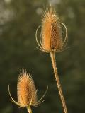 Grote Kaardebol - Dipsacus fullonum - Teasel