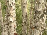 Paper Birches.jpg