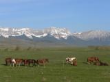 Crowsnest horses.jpg