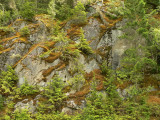 Moss  trees Bella Coola.jpg