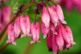 Dicentra 'Adrian Bloom'