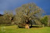 Venerable old tree