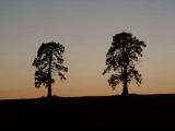 Two tree silhouette