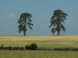 Two trees spring