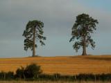 Two trees autumn