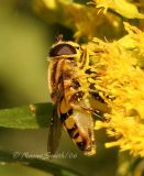 Syrphid #2277