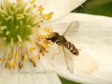 Toxomerus marginatus JN7 #7552