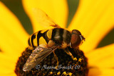Syrphid Fly AU7 #2459