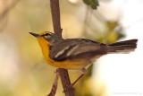 Adelaide's Warbler  (Reinita Mariposera) [ENDEMIC]