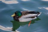 Duck in silky water.jpg