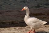 Proud Italian goose.jpg