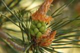 Spring buds.jpg