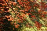 Sunlight through the maple tree.jpg