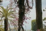 Villa Carlotta,Giant Wisteria-back view.jpg