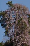 Villa Carlotta-Giant wisteria.jpg